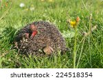 Small photo of Hedgehog in the autumn forest curled. Autumn leaves on tenterhooks