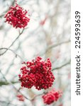 Rowan berry, some clusters of berries on a tree during autumn also known as ashberries - stock photo