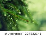 Pine Tree With Morning Dew On...