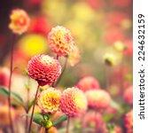 Beautiful Dahlia Flowers Under...