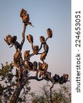 Silhouette of White Backed Vultures Perched in a Tree in Kruger National Park