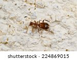 Small photo of Acanthinus argentinus, a South American Ant Mimic Beetle