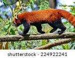 Red Panda At Darjeeling Zoo ...
