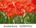 orange tulips | Shutterstock . vector #225007411