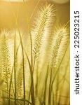 Green Bristle Grass Reed