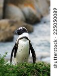 Portrait Of African Penguin ...