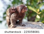The Common Marmoset  Callithri...