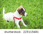 Jack Russell Puppy In The Grass.