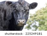 Cow  Aberdeen Angus Breed