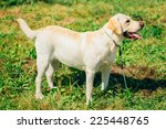 white labrador retriever dog... | Shutterstock . vector #225448765