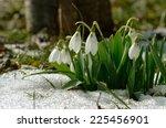snowdrop  galanthus nivalis   Shutterstock . vector #225456901