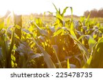 Corn Field At The Sunset