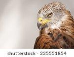 Red Kite  Bird Of Prey Portrait