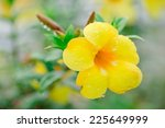 Big Allamanda Yellow Flower...