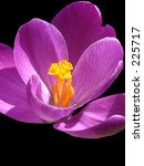 This is an extreme close-up of a purple crocus, the first flower of spring. - stock photo