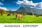 Herd Of Cows Grazing In Alps