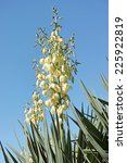 Plant Of Yucca With A Panicle...