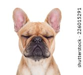Fawn French Bulldog With Close...