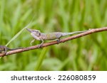 Small photo of Cyrano Chameleon - Rare Madagascar Endemic Reptile