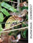 o'shaugnessy's chameleon ... | Shutterstock . vector #226082017