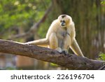 white cheeked gibbon | Shutterstock . vector #226196704