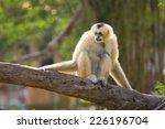 white cheeked gibbon   Shutterstock . vector #226196704