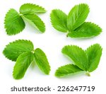Strawberry Leaves Isolated On...