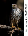 Small photo of Little Sparrowhawk (Accipiter minullus) at a Nature Reserve, South Africa