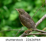 a young thrush on branch of... | Shutterstock . vector #22626964