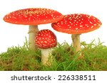 Fly Agaric Mushrooms  Amanita...
