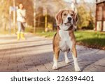 Stock photo beagle walk on long lead at the autumn park 226394401
