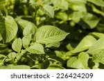 Small photo of photographed by a close up green leaves of potatoes