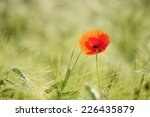 A Single Tree And Poppy In A...