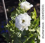 Small photo of Eurasian genus Helleborus or white Winter Roses ,comprise 20 species of herbaceous or evergreen perennial flowering plants in the family Ranunculaceae, species Helleboreae flowering in spring .