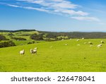 sheep and lambs in the field at ...   Shutterstock . vector #226478041