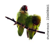 Small photo of Exotic bird - couple of Black-Cheeked Lovebirds (Agapornis nigrigenis) over white background