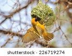 Southern Black Masked Weaver  ...