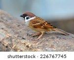 Eurasian Tree Sparrow Bird...