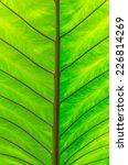 Small photo of closeup Leaf of Giant Alocasia or Giant Taro or Elephant Ear Taro