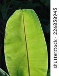 leaf banana | Shutterstock . vector #226858945