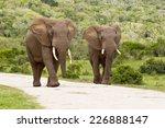 two large elephants walking...   Shutterstock . vector #226888147