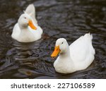 Two White Ducks Swimming In Th...