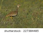 Small photo of Southern black Korhaan or black bustard (Afrotis afra) female ? ~ South Africa