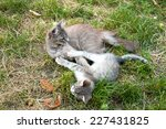 Stock photo domestic cat plays with her kitten 227431825