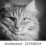 portrait of beautiful cat with  ... | Shutterstock . vector #227438224