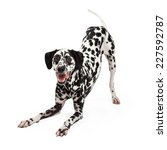 Stock photo a playful dalmatian dog bowing with open mouth while looking forward 227592787