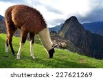 Lama Grazing On The Ruins Of...