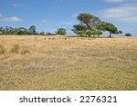 Alone tree against the blue sky and yellow field (Churchill island, Victoria, Australia) - stock photo