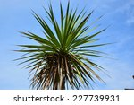 Cordyline Australis  Cabbage...
