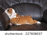 Stock photo english bulldog puppy relaxing on black leather sofa 227838037